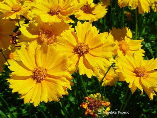 Cosmos Sulphureum - Gelbes Schmuckkörbchen  © Mag. Angelika Ficenc