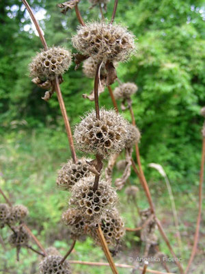 Phlomis tuberosa - Knollen Brandkraut