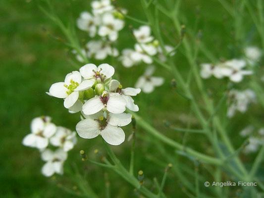 Crambe maritima - Meerkohl, Blüten  © Mag. Angelika Ficenc