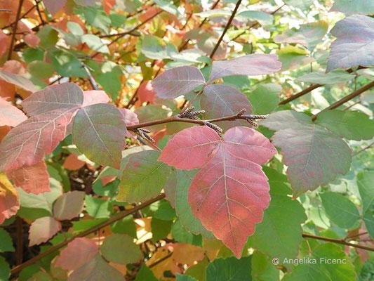 Rhus aromatica - Essigbaum , beginnende Herbstfärbung    © Mag. Angelika Ficenc