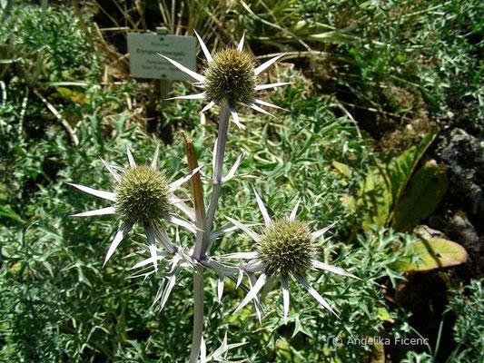 Eryngium bourgatii - Pyrenäendistel    © Mag. Angelika Ficenc
