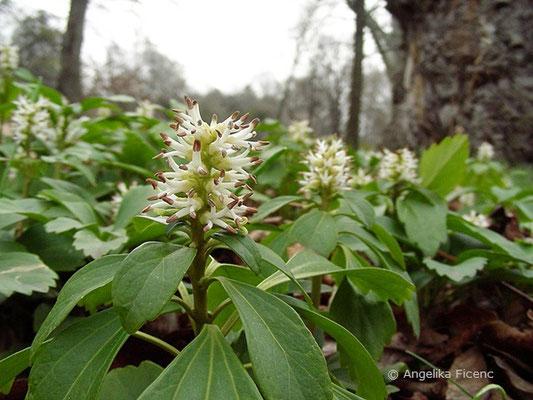 Pachysandra terminalis - Japanischer Ysander, Blütenstand