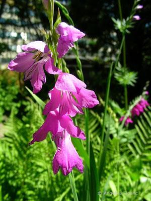 Gladiolus imbricatus - Dachziegelartige Siegwurz  © Mag. Angelika Ficenc