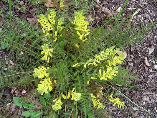 Corydalis cheilanthifolia - Farnblättriger Lerchensporn  © Mag. Angelika Ficenc