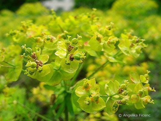 Euphorbia cyparissias - Zypressen Wolfsmilch