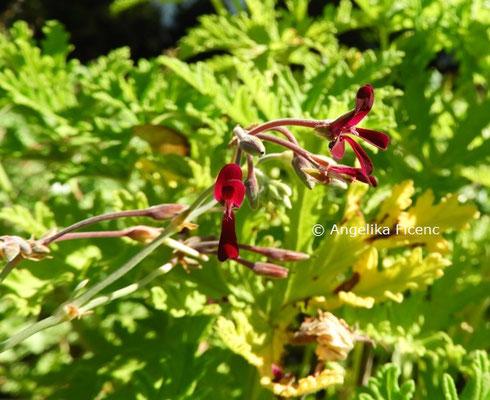 Pelargonium sidoides  © Mag. Angelika Ficenc