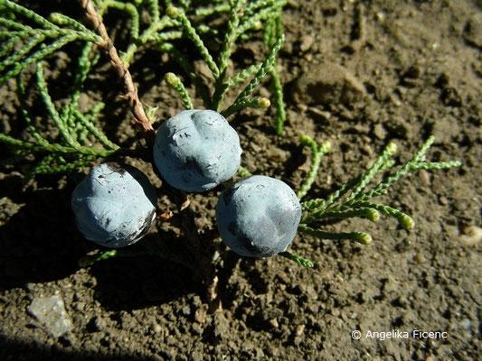 Juniperus excelsa - Kleinasiatischer Baum-Wacholder, blau bereifte Früchte