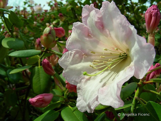 Rhododendron vermicosum  © Mag. Angelika Ficenc