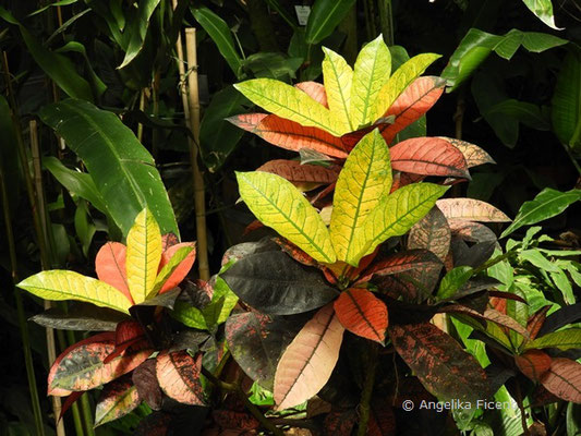 Codiaeum variegatum - Kroton, Wunderstrauch  © Mag. Angelika Ficenc