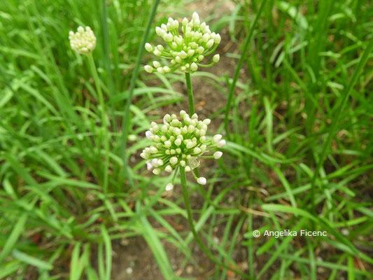 Allium tubersoum  © Mag. Angelika Ficenc