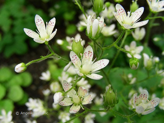 Saxifraga rotundifolia - Rundblatt Steinbrech