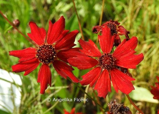 Coreopsis tinctoria © Mag. Angelika Ficenc