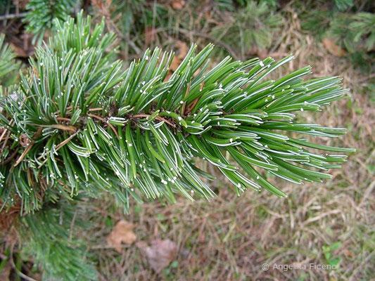 Pinus aristata - Grannen Kiefer