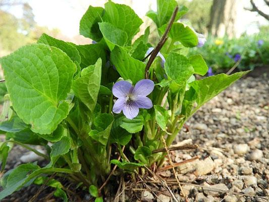 Viola miranda - Wunderveilchen