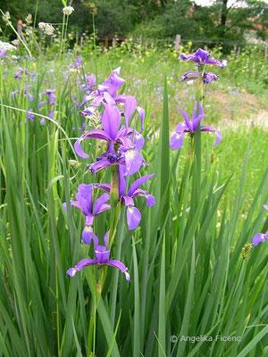 Iris spuria - Salzwiesen Schwertlilie   © Mag. Angelika Ficenc