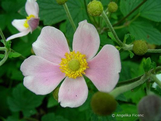 Anemone hupehensis , Blüte