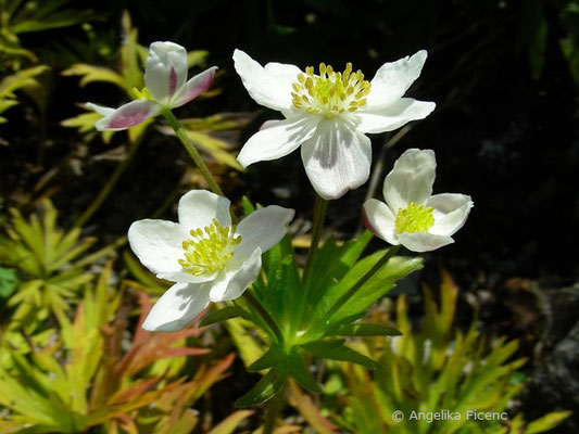 Anemone narcissifolia - Berghähnlein  © Mag. Angelika Ficenc