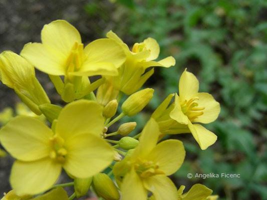 Brassica napus - Rübe