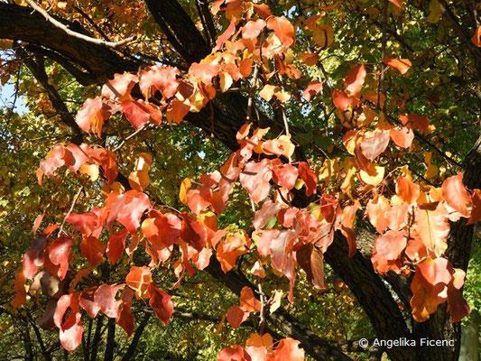 Pyrus pyrifolia var. culta - Naschi-Birne, Herbstfärbung