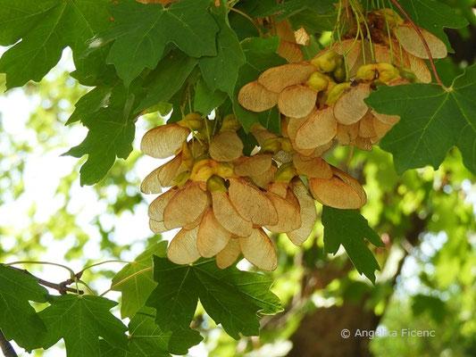 Acer hyrcanum - Balkan Ahorn, reife Früchte