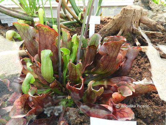 Sarracenia purpurea, Schlauchblätter  © Mag. Angelika Ficenc