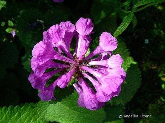 Betonia macrantha - Großblütige Betonie