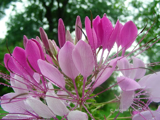 Cleome spinosa - Spinnenpflanze