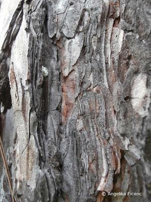 Chamaecyparis pisifera - Erbsenfrüchtige Scheinzypresse, Stamm, Borke