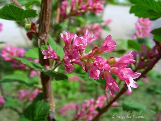 Ribes sanguineum  © Mag. Angelika Ficenc