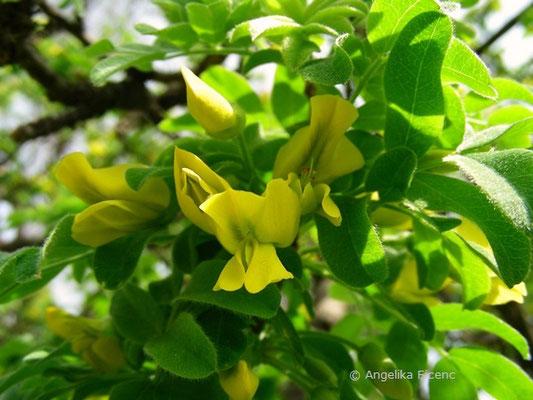 Caragana arborescens - Gewöhnlicher Erbsenstrauch, Blüte   © Mag. Angelika Ficenc