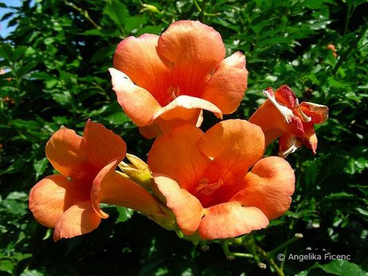Campsis radicans - Amerikanische Trompetenwinde, Blüten