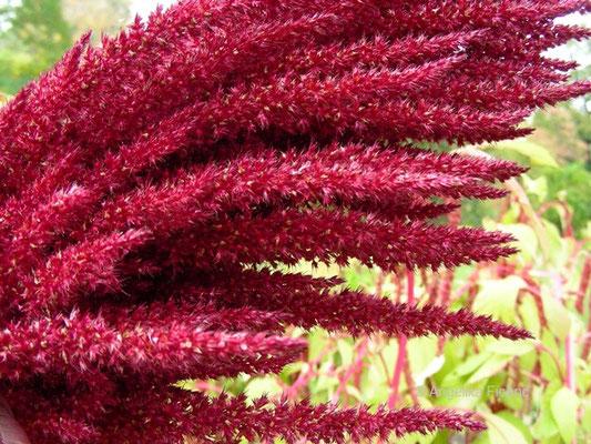 Amaranthus cruentus - Rispiger Fuchsschanz, Blütenstand