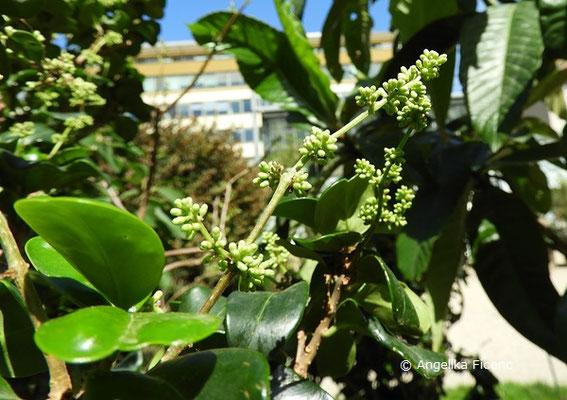 Ligustrum japonicum var. rotundifolium - Japanischer Liguster  © Mag. Angelika Ficenc