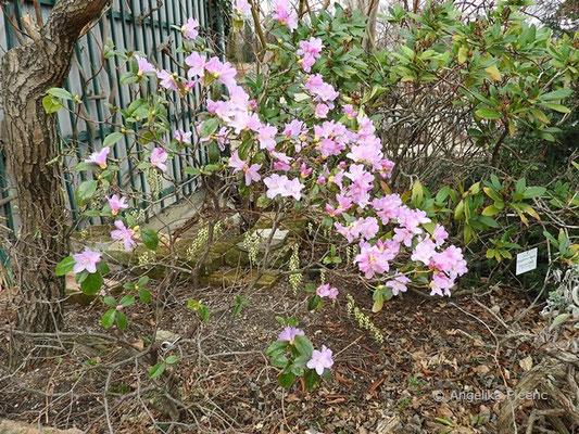 Rhododendron x praecox