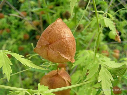 Cardiospermum halicacabum - Ballonrebe,  © Mag. Angelika Ficenc