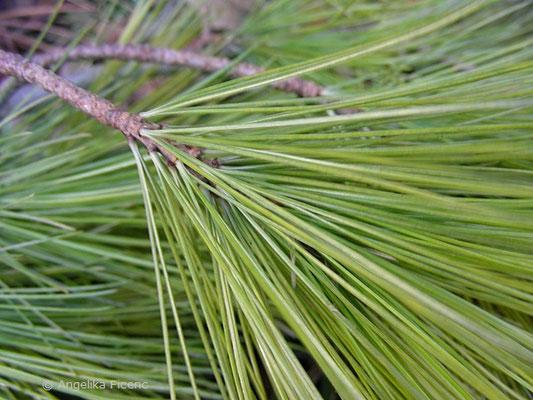 Pinus strobus - Weymouths Kiefer, Nadeln