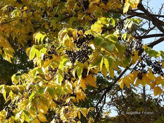 Phellodendron amurense x japonicum - Korkbaum, Herbstfärbung