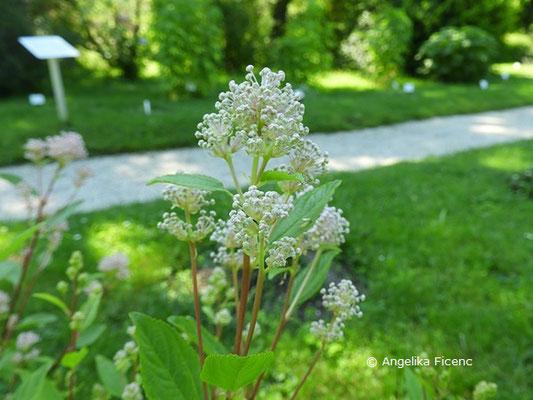 Ceanothus americanus - Säckelblume © Mag. Angelika Ficenc