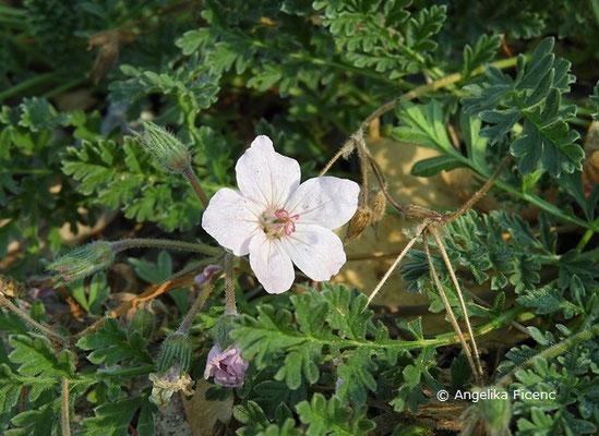 Erodium absinthoides subsp. armenum, Blüte