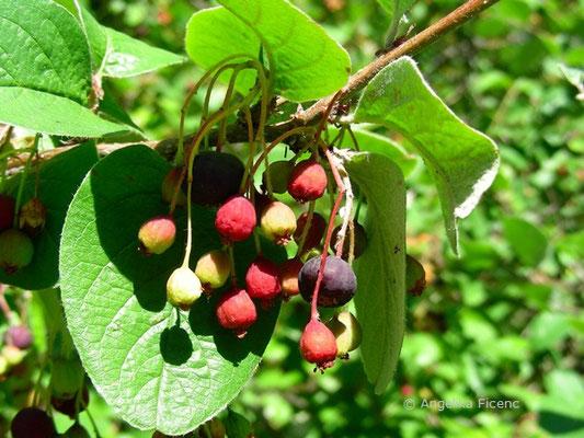 Cotoneaster niger - Schwarze Zwergmispel,Früchte i unterschiedlichen Reifestadien