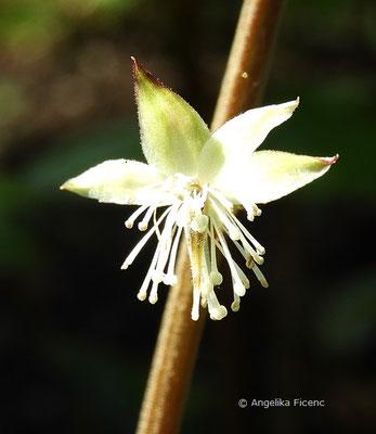 Beesia calthifolia, Einzelblüte   © Mag. Angelika Ficenc