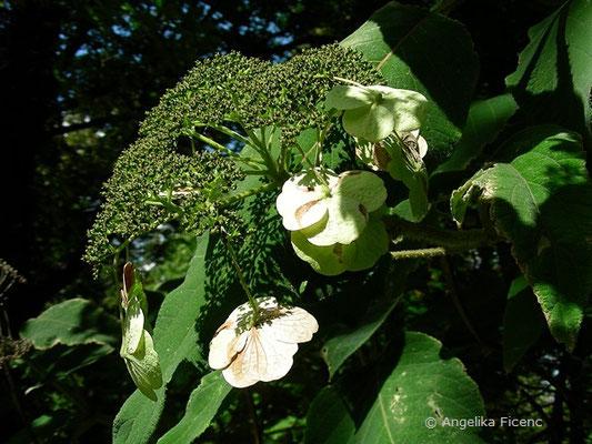 Hydrangea aspera - Raue Hortensie, Trugdolde
