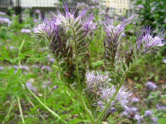 Phacelia tanacetifolia - Rainfarn-Büschelschön