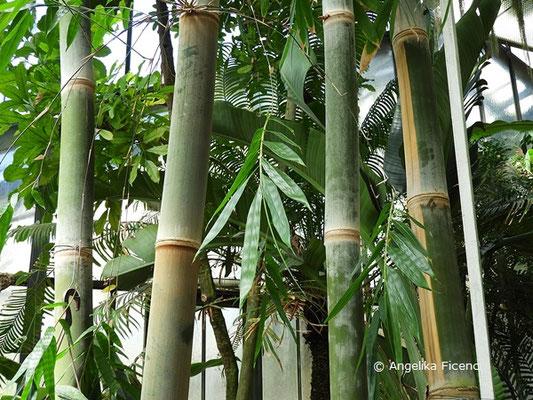 Dendrocalamus giganteus, Riesenbambus  © Mag. Angelika Ficenc