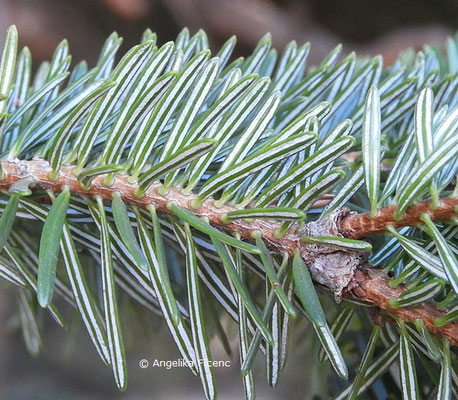 Abies cephalonica  © Mag. Angelika Ficenc