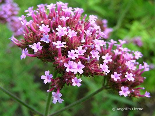 Verbena bonariensis  © Mag. Angelika Ficenc