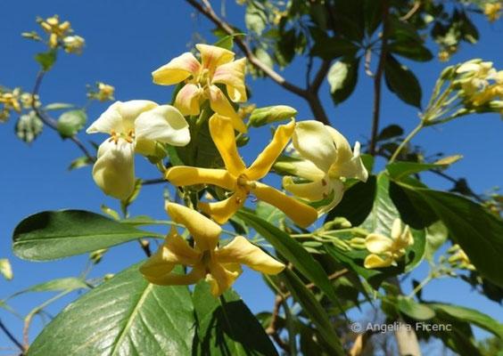 Hymenosporum flavum - Hautsamenbaum, Blüten