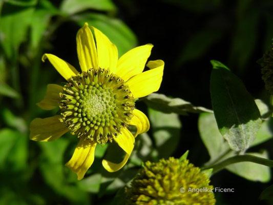 Rudbeckia laciniata - Schlitzblättriger Sonnenhut  © Mag. Angelika Ficenc