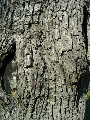 Pyrus spinosa - Pfirsichblättrige Birne, Stamm