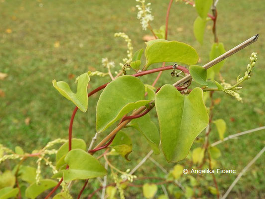 Anredera cordifolia  © Mag. Angelika Ficenc